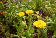 Heldere gele calendulabloemen Stock Fotografie