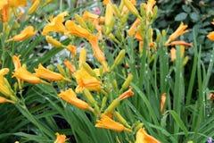 Heldere gele die bloemblaadjes van tijgerlelies in groen bladeren en gras van tuin worden geplooid royalty-vrije stock foto's