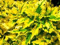 Heldere gele en groene bladeren stock afbeelding