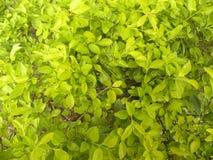 Heldere gele en groene kleurenbladeren van Euonymus-installatie in de tuin Stock Afbeeldingen