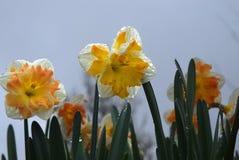Heldere gele en oranje gele narcissen na een regen Stock Afbeelding
