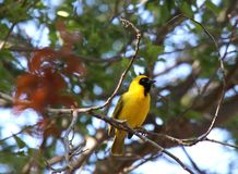 Heldere gele en zwarte mannelijke weversvogel op tak stock afbeelding