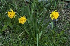 Heldere gele gele narcissen of narcissen in bloei bij weide Royalty-vrije Stock Foto