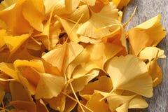 Heldere gele ginkobladeren op een houten bank Royalty-vrije Stock Afbeeldingen