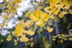 Heldere gele kleurenbladeren op ginkgoboom Royalty-vrije Stock Afbeeldingen