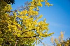 Heldere gele kleurenbladeren op ginkgoboom Stock Fotografie