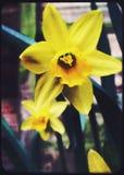 Heldere gele narcissen Stock Afbeeldingen