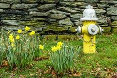 Heldere gele Gele narcissen in de Lente naast Gele Brandkraan Stock Foto