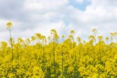 Heldere gele oliezaad dichte omhooggaand royalty-vrije stock fotografie