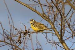 Heldere gele Oostelijke Meadowlark-vogel Royalty-vrije Stock Fotografie