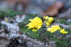 Heldere, gele paddestoel op een logboek royalty-vrije stock foto's