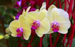 Heldere gele phalaenopsisorchideeën Stock Foto