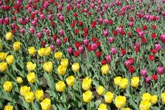 Heldere gele, rode en roze bloeiende tulpen Stock Afbeeldingen