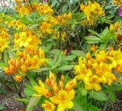Heldere gele rodendron in een botanische tuin op een zonnige dag royalty-vrije stock foto's
