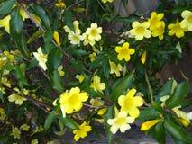 Heldere gele trompetlelie ` s royalty-vrije stock afbeelding