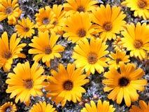 Heldere gele tuinchrysanten Stock Afbeeldingen