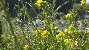 Heldere gele wildflowers op groene stelen dichtbij de weg stock videobeelden