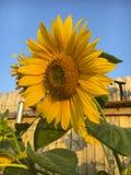 Heldere gele zonnebloem Stock Afbeelding