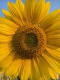 Heldere gele zonnebloem Stock Afbeeldingen