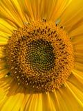 Heldere gele zonnebloem Royalty-vrije Stock Foto's