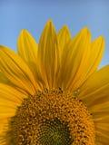 Heldere gele zonnebloem Stock Foto