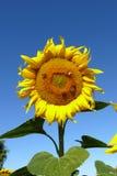 Heldere gele zonnebloem Royalty-vrije Stock Afbeeldingen