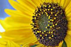 Heldere gele zonnebloem in de zomer Stock Fotografie