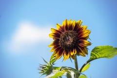 Heldere gele zonnebloem tegen een blauwe de zomerhemel stock foto's