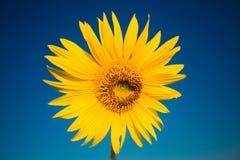 Heldere gele Zonnebloem in Zomer op blauwe hemelachtergrond stock afbeeldingen
