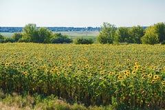 Heldere gele zonnebloemen Stock Fotografie