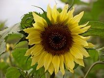Heldere gele zonnebloemen Royalty-vrije Stock Foto's