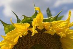 Heldere gele zonnebloemen De achtergrond van de zonnebloem Dichte omhooggaand van de zonnebloem Stock Fotografie
