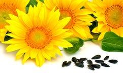 Heldere gele zonnebloemen en zonnebloemzaden Royalty-vrije Stock Fotografie