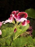 Heldere geranium Royalty-vrije Stock Afbeelding