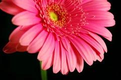 Heldere Gerber Daisy Royalty-vrije Stock Afbeeldingen