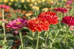 Heldere gerbera in de tuin Royalty-vrije Stock Afbeeldingen