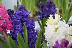 Heldere hyacinten Royalty-vrije Stock Afbeeldingen