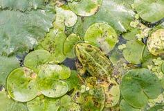 Heldere kikker op bladeren van eendekroos in een stagnerende vijver Royalty-vrije Stock Afbeelding