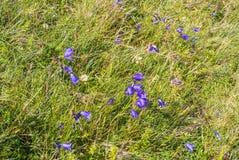 Heldere kleurrijke alpiene bellflowers op de bovenkant van de berg, a Royalty-vrije Stock Foto's