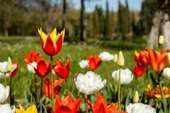 Heldere kleurrijke de lenteachtergrond met nadruk op het rood met gele Vuurwerktulp royalty-vrije stock fotografie