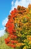 Heldere kleurrijke esdoornboom in de herfst Royalty-vrije Stock Foto