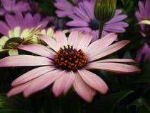 Heldere kleurrijke Margarita Daisy-bloemen die in de medio lente bloeien stock afbeelding