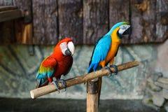 Heldere kleurrijke papegaaien Royalty-vrije Stock Foto