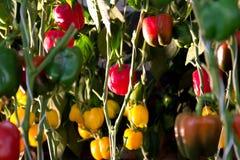 Heldere kleurrijke paprika's die op wit worden geïsoleerdb Stock Afbeelding
