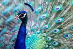 Heldere kleurrijke pauw Stock Foto's