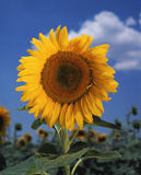 Heldere kleurrijke zonnebloem Royalty-vrije Stock Afbeeldingen
