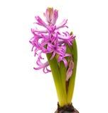 Heldere magenta hyacint Royalty-vrije Stock Afbeelding