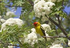 Heldere Mannelijke Westelijke Tanager-Vogel in Bloeiende Boom Stock Foto