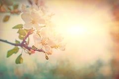Heldere mening over de tot bloei komende bloemen van de appelboom op vage mistige su Stock Foto