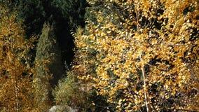 Heldere mooie de herfstbladeren stock videobeelden